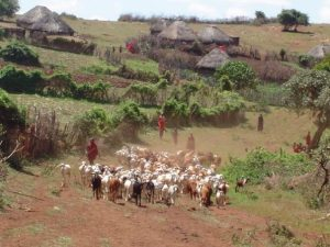 Herding Goats in Olorte